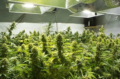Agents Beware – what to do if you suspect a cannabis farm